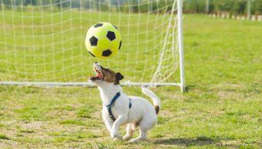 Румынский пёс подкатом отправил футболиста в больничку